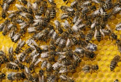 Arbeitsbienen Imkerverein Gelsenkirchen