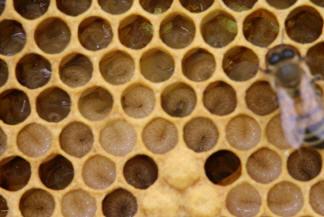 Lebenslauf Einer Honigbiene Imkerverein Gelsenkirchen